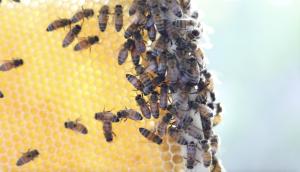 Local Honey Bees
